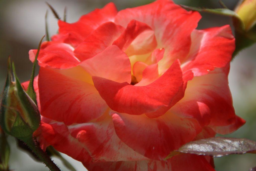 Rose im Rosengarten von Mable Ringling in Sarasota