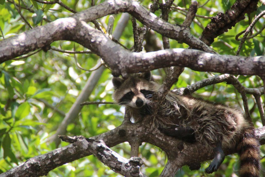 Putzige Waschbären in den Everglades