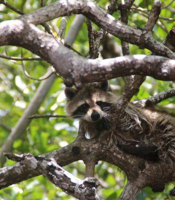 Waschbär in den Everglades