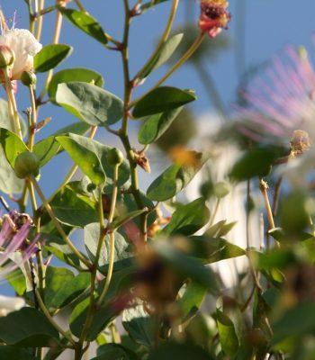 exotische Pflanzen an der Amalfiküste