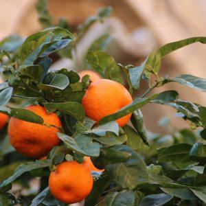 Orangenbäume in Sóller