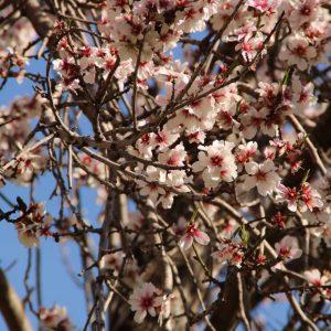Mandelblüte in Valldemossa