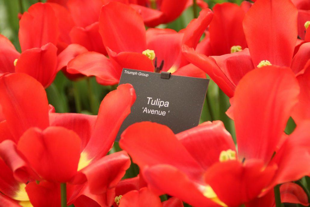 rote Tulpen aus dem Keukenhof in Lisse, Holland