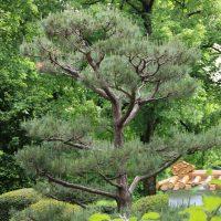 Baum im Chinesischen Garten im Westpark München