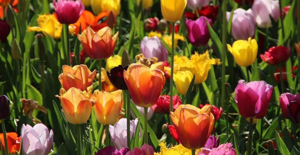 Tulpen im Keukenhof, Holland