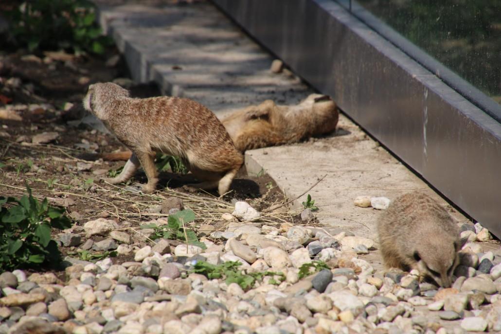 Landesgartenschau Erdmännchen Jungtiere