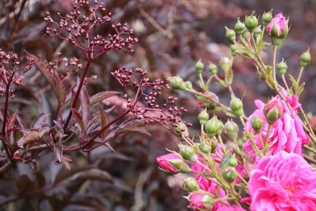 Rosen und schwarzer Holunder im Klostergarten