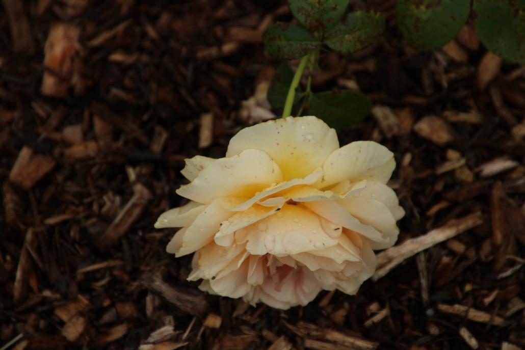 Rose im Rosengarten